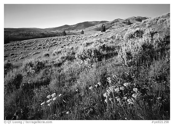 Flowers and Mt Washburn, sunrise. Yellowstone National Park (black and white)