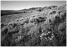 Flowers on slope below  Mt Washburn, sunrise. Yellowstone National Park, Wyoming, USA. (black and white)