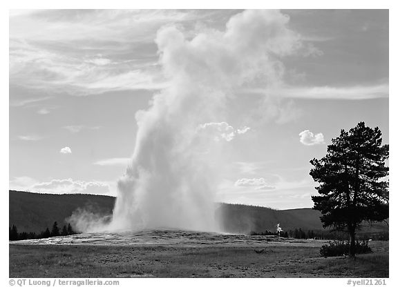 Old Faithful Geyser and tree, afternoon. Yellowstone National Park (black and white)