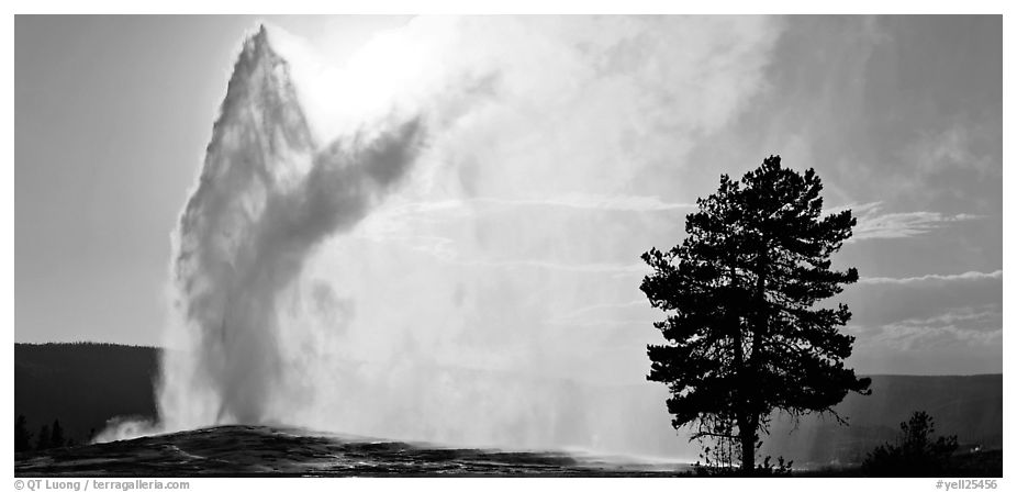 Old Faithful geyser and tree. Yellowstone National Park (black and white)