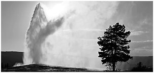 Old Faithful geyser and tree. Yellowstone National Park (Panoramic black and white)