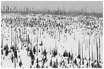 Lewis Canyon slopes with burned forest, winter. Yellowstone National Park, Wyoming, USA. (black and white)