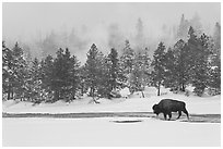 Bison following warm stream in winter. Yellowstone National Park, Wyoming, USA. (black and white)