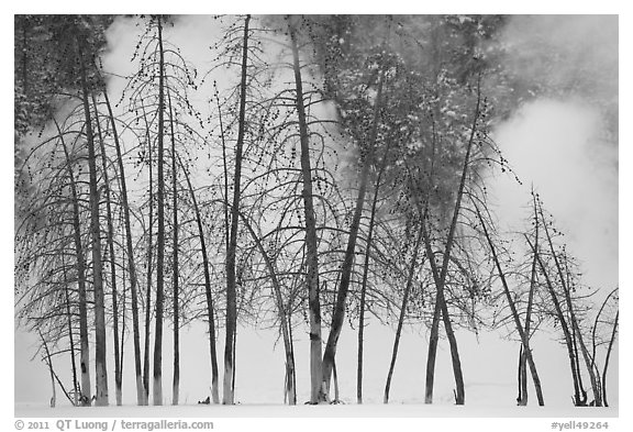 Bare trees and steam in winter. Yellowstone National Park (black and white)