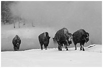 Group of buffaloes crossing river in winter. Yellowstone National Park, Wyoming, USA. (black and white)