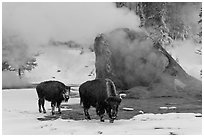 Bisons and geyser cone, winter. Yellowstone National Park, Wyoming, USA. (black and white)