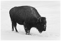 American bison in winter. Yellowstone National Park, Wyoming, USA. (black and white)