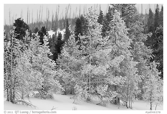 Snow-covered trees. Yellowstone National Park (black and white)