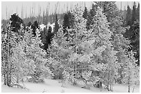 Snow-covered trees. Yellowstone National Park ( black and white)