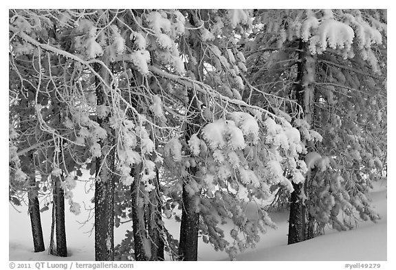 Snow-covered branches. Yellowstone National Park (black and white)