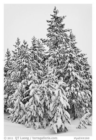 Snow-covered spruce trees. Yellowstone National Park (black and white)