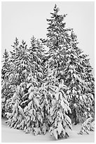Snow-covered spruce trees. Yellowstone National Park ( black and white)