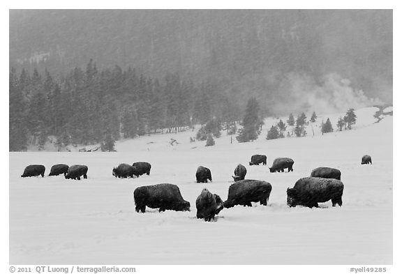 Herd of buffaloes during snow storm. Yellowstone National Park (black and white)