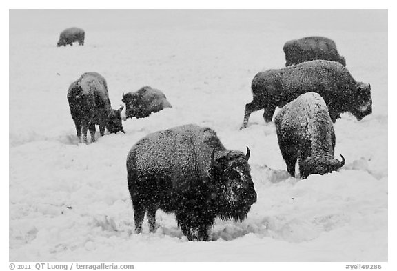 Bison feeding in snow-covered meadow. Yellowstone National Park (black and white)