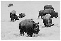 Bison feeding in snow-covered meadow. Yellowstone National Park, Wyoming, USA. (black and white)