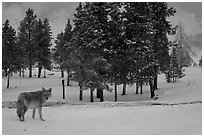 Coyote in winter. Yellowstone National Park, Wyoming, USA. (black and white)