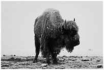 Snow-covered buffalo standing on warmer ground. Yellowstone National Park, Wyoming, USA. (black and white)