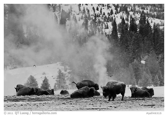 Bisons with thermal plume behind in winter. Yellowstone National Park (black and white)