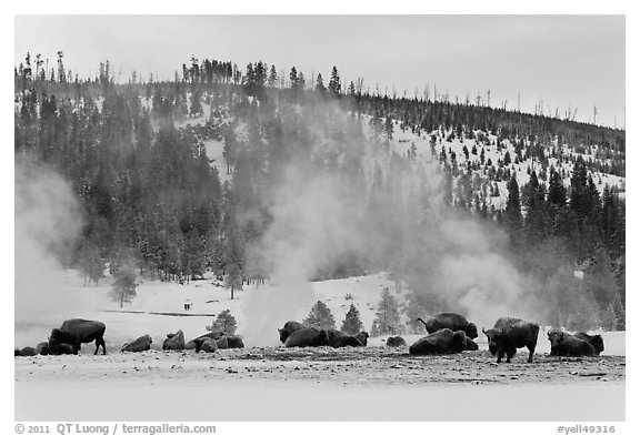 Buffalo herd and Geyser Hill in winter. Yellowstone National Park (black and white)