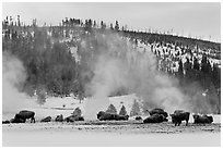 Buffalo herd and Geyser Hill in winter. Yellowstone National Park, Wyoming, USA. (black and white)