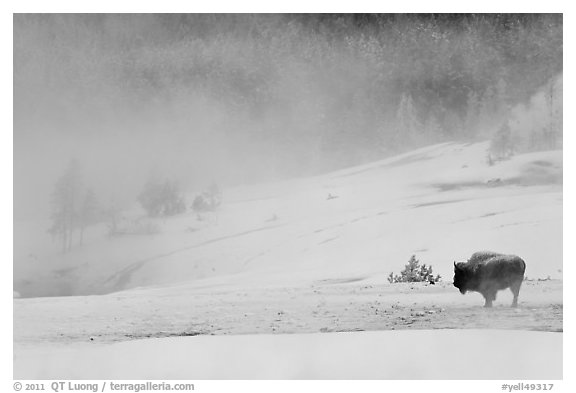 Lone bison and thermal steam. Yellowstone National Park (black and white)