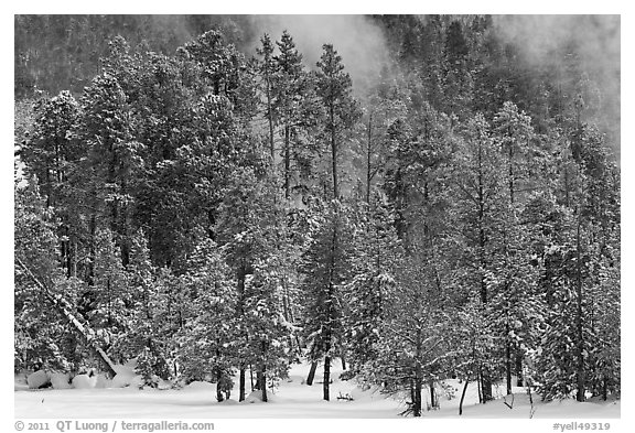 Wintry forest and steam. Yellowstone National Park (black and white)