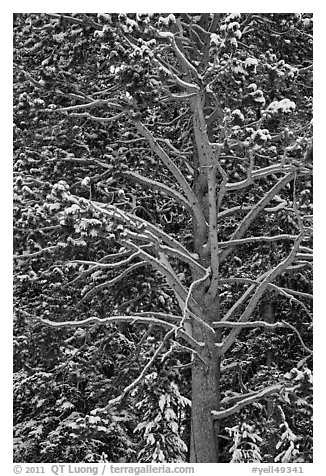 Close up of tree with snow. Yellowstone National Park (black and white)