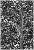 Close up of tree with snow. Yellowstone National Park ( black and white)