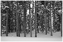 Pine forest in winter. Yellowstone National Park ( black and white)