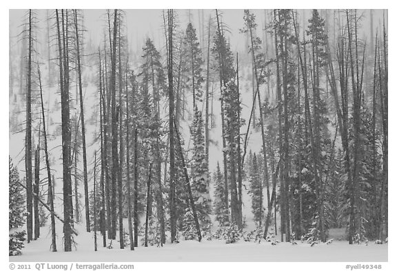 Forest in snow storm. Yellowstone National Park (black and white)