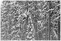 Forest with snow falling. Yellowstone National Park ( black and white)