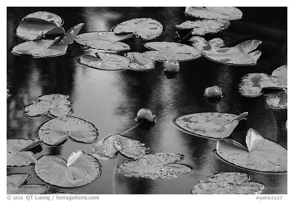 Water lillies in bloom, Isa Lake. Yellowstone National Park (black and white)
