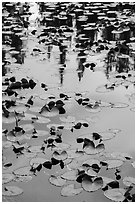 Water lillies, raindrops, and reflections, Isa Lake. Yellowstone National Park ( black and white)