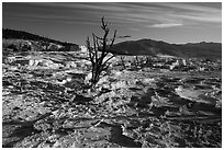 Dead trees and Main Terrace, Mammoth Hot Springs. Yellowstone National Park ( black and white)
