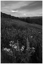 Wildflower meadow, Dunraven Pass. Yellowstone National Park ( black and white)