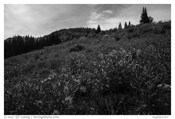 Summer wildflowers near Dunraven Pass. Yellowstone National Park (black and white)