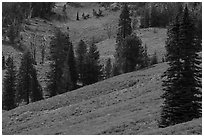 Slopes with wildflowers and conifers, Dunraven Pass. Yellowstone National Park ( black and white)