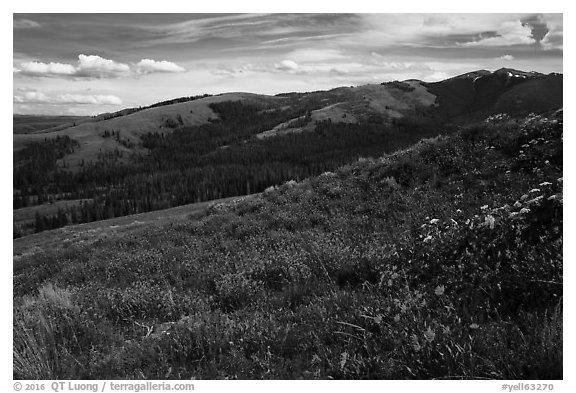 Carpets of wildflowers below Mount Washburn. Yellowstone National Park (black and white)