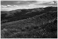 Carpets of wildflowers below Mount Washburn. Yellowstone National Park ( black and white)