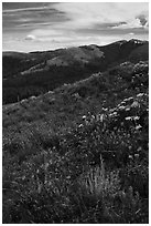 Summer wildflowers and Mount Washburn. Yellowstone National Park ( black and white)