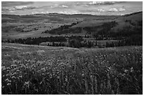 Summer wildflowers and Lamar Valley. Yellowstone National Park ( black and white)