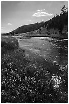 Wildflowers along Firehole River. Yellowstone National Park ( black and white)