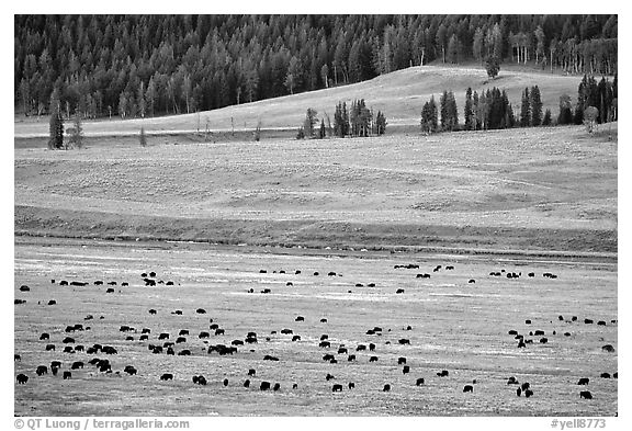 Buffalo herd in Lamar Valley, dawn. Yellowstone National Park (black and white)