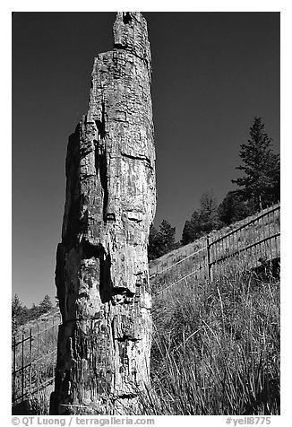 Petrified tree. Yellowstone National Park, Wyoming, USA.