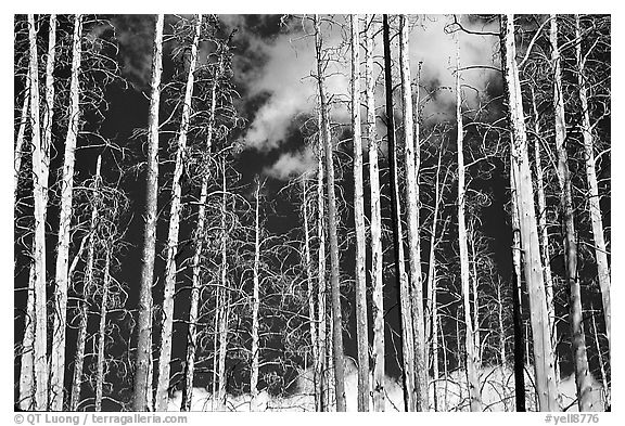 Bright trees in burned forest and clouds. Yellowstone National Park (black and white)