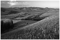 Grasses and flowers on Specimen ridge, sunset. Yellowstone National Park ( black and white)
