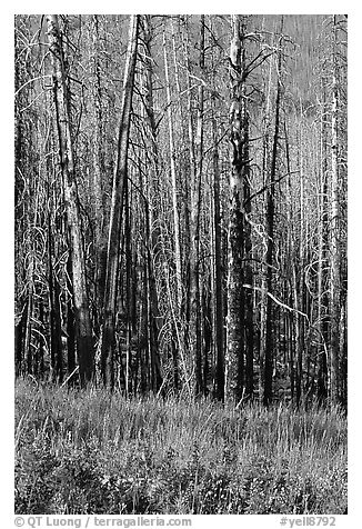 Lupine at the base of burned forest. Yellowstone National Park (black and white)
