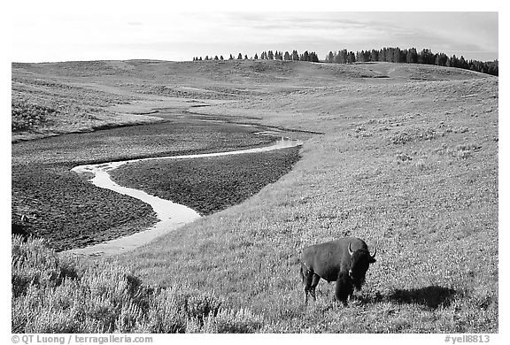 Bison and creek, Hayden Valley. Yellowstone National Park (black and white)