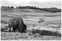 Buffalo, Hayden Valley. Yellowstone National Park ( black and white)