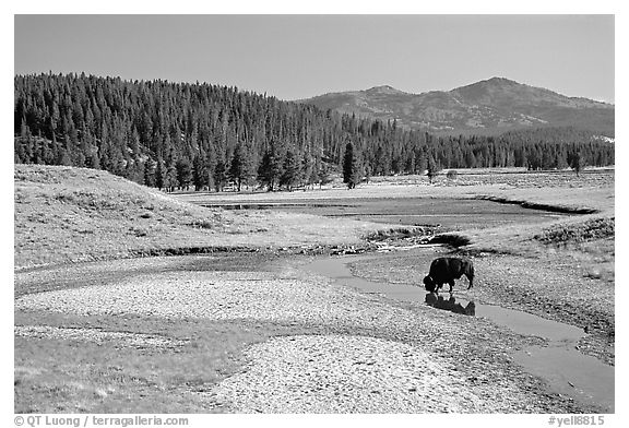 Buffalo in creek, Hayden Valley. Yellowstone National Park (black and white)